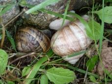 Roman (big) and English snail at Roman Villa