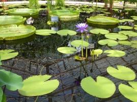 Water Lilies - Kew Gardens